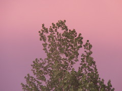 shades of a shade tree (SheilaMink) Tags: sky colors pink purple leaves green branches white newmexico southwest sooc nopostprocessing