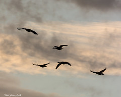Geese In the Morning (that_damn_duck) Tags: dawn clouds nature birds flock geese