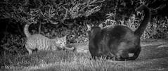 Bertie McGinger & Mr White (Mr Whites Paw Prints) Tags: bertiemcginger cat feline gingerkitten mrwhite