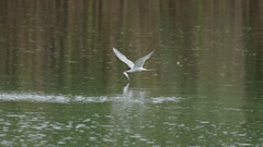 Tern fishing (2) : flying just over the lake (Franck Zumella) Tags: oiseau bird tern sterne gull mouette fishing pecher fish fly flying voler lake lac