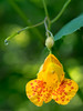 Flower III-a : Spotted Touch-Me-Not (theReedHead) Tags: thereedhead olympusprimelens olympus60mmf28 olympusmacrolens olympusem1 realism spottedtouchmenot touchmenot impatienscapensis yelloworangeflowers yellowflowers orangeyellowflowers schlitzaudubonnaturecenter sanc milwaukee wisconsin flowercloseups flowermacros milwaukeephotographers wisconsinphotographers flowers flora blooming macros closeups wildflowers blossoming
