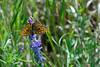 DSC_22871 (sir.yoga) Tags: flowers easternsiberia russia bratsk