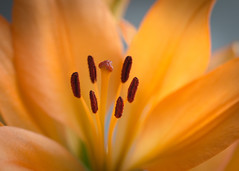 the warmth of a lily (Emma Varley) Tags: lily flower indoor orange stamen pistils glow fire light petals