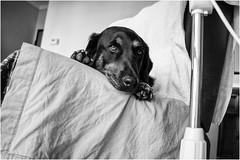 6 foto da cani (andaradagio) Tags: andaradagio bianconero bw canon dog cane miglioramicodelluomo nadiadagaro 24mmf28canon littledoglaughednoiret