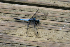 Blue dragonfly seen in Japan (Matthias Harbers) Tags: traveling photoshop topaz labs jpg canon powershot g test review image insect flower nature outdoor depth field plant landscape g3x dxo japan