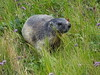 Austria '17 (faun070) Tags: marmotamarmota murmeltier franzjosefhöhegrossglockner wildlife
