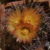 Ferocactus herrerae (candiru) Tags: ferocactus herrerae