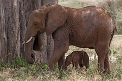 World Elephant Day (Hector16) Tags: africa littlechemchem safari outdoors tanzania wildlife chemchem tarangirenationalpark loxodontaafricana manyararegion tz ngc npc