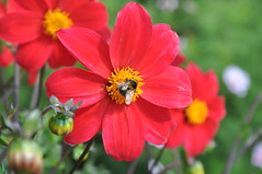 Bee Bulls Eye (katy1279) Tags: bee flowers red colourful nature beauty bullseye