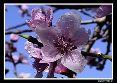 Flor de Durazno 2 (hectorfunes) Tags: flores durazno