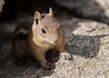 Golden-mantled Ground Squirrel (JMFusco) Tags: colorado goldenmantledgroundsquirrel wildlife estespark