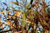 rousserolle effarvatte ( Acrocephalus scirpaceus ) Erdeven 170902f2 (papé alain) Tags: oiseaux passereaux acrocéphalidés rousserolleeffarvatte acrocephalusscirpaceus eurasianreedwarbler erdeven morbihan bretagne france