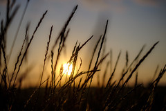 Morning light (Wouter de Bruijn) Tags: fujifilm xt1 fujinonxf35mmf14r sunrise dawn morning wheat grain reed plant flora bokeh depthoffield nature outdoor walcheren zeeland nederland netherlands holland dutch