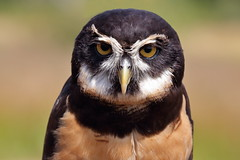 Spectacled Owl (brian.bemmels) Tags: pulsatrix perspicillata pulsatrixperspicillata spectacled owl spectacledowl richmondraptorfestival terranovapark richmond bc britishcolumbia canada