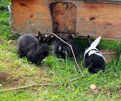 4 (Protty coniglio nano) Tags: coniglio conigli protty bunny bunnies rabbit rabbits kaninchen lapin coniglietti coniglionano prottyit coniglinani oryctolagus oryctolaguscuniculus