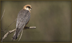 _7889 Red-footed Falcon (Dave @ Catchlight Images) Tags: greece nature islands raptor falcon red footed limnos canon