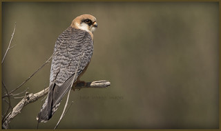 _7889 Red-footed Falcon