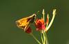 Zabulon Skipper, Butterfly Weed, Backyard, 08-06-2017_IMG_1483a (Nancy L Erickson) Tags: zabulonskipper skipper skippers butterfly butterflies pinehill nj butterflyweed wildflower