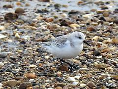 Sanderling (Diko G.W.) Tags: fraisthorpe eastyorkshire sanderling nikonp900