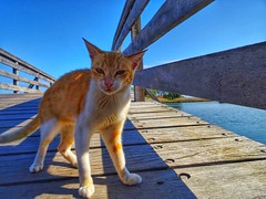 The guard of the bridge..wooden bridge in vistonida lake..Porto Lagos Xanthi Greece (panoskaralis) Tags: cat cats pets pet animals animal bridge woodenbridge wood shorthaircat portolagos xanthi nestosriver lake vistonida nature greece greek hellas hellenic outdoor summer greeksummer summerholidays holidays