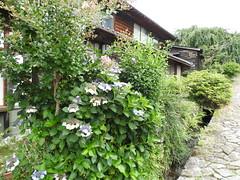 Hydrangea macrophylla (gakuajisai) hedge (Joel Abroad) Tags: magomejuku gifuken japan plants nakasendo bigleafhydrangea frenchhydrangea lacecaphydrangea mopheadhydrangea pennymac hortensia hydrangeamacrophylla