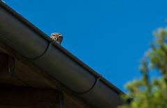 Chevêche d'Athéna (JeanJoachim) Tags: chevêchedathéna athenenoctua littleowl strigiformes strigidae oiseau bird vogel aves uccello fågel fugl pássaro バード lintu птица ptak pentaxk5iis smcpentaxda300mmf4edifsdm steinkauz