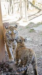 Le bisous (Zéphyrios) Tags: besançon doubs franchecomté nikon d7000 citadelle musée muséum jardinzoologique zoo animal tigre sibérie tigredelamour panthera tigris famille social félin