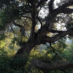 Grandfather Tree (Melinda Young Stuart) Tags: tmt liveoak ca trunk forest park tilden bayarea summer ebmpd grandfather landscape tree preserve