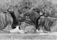 Famiglia di Gnu (Christian Papagni | Photography) Tags: pombia piemonte italia it novara safari park gnu family famiglia canon eos 7d mark ii ef100400mm f4556l is usm bianco e nero black white