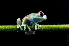 Ruby eyed tree frog (Leptopelis Uluguruensis). (sfrancis23) Tags: reptile frog ruby eyed tree leptopelisuluguruensis studio animal wildlife elinchrom 400 nikon sigma180mmmacro green black flower stem gerbera d810 offcameraflash