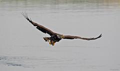 Bald Eagle - 094A2815a3c (Sue Coastal Observer) Tags: baldeagle haliaeetusleucocephalus baea elginpark surrey bc britishcolumbia canada fishing