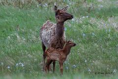 IMG_6561 cow elk and calf (starc283) Tags: canon canon7d colorado starc283 elk cowelk elkcalf flickr flicker outdoors outdoor mountains wildlife nature naturesfinest