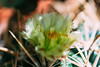 20150814-01832.jpg (tristanloper) Tags: macro tristanloper creativecommons cactus flower ferocactus ferocactusviridescens sandiego california sandiegocounty thewest thesouthwest sandiegoca sandiegocalifornia free