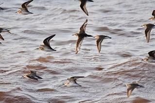 Semipalmated Sandpipers in flight
