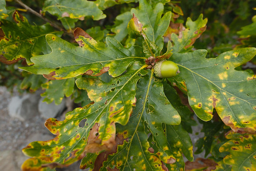 oak leaf and nut