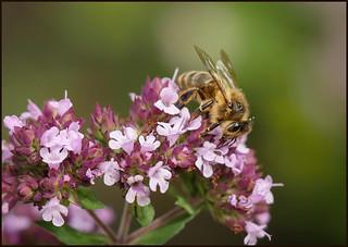 P1190389-1 - Honey Bee 0n Marjoram