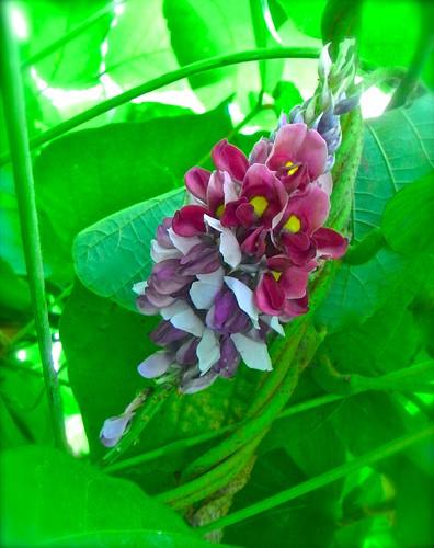 Pueraria Herb