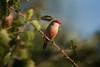 Bico de Lacre (Carlos Santos - Alapraia) Tags: ngc ourplanet animalplanet canon nature natureza wonderfulworld highqualityanimals unlimitedphotos fantasticnature birdwatcher bicodelacre ave pássaro bird