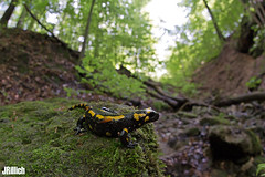 Fire salamander, Salamandra salamandra @ Sächsische Schweiz 2017, Saxon Switzerland (Jan Rillich) Tags: august rainy regen 2017 rillich janrillich canon canon5d jan photo foto picture photography fotografie eos digital wildlife animal nature beautiful beauty sunny sun fauna flora free animalphotography image feuersalamander firesalamander amphibians salamander yellowspots salamandrasalamandra salamandra young offspring sigmafisheyedg15mmf28 sigma15mmf28exdgdiagonalfisheye wideangle weitwinkel funny fisheye fischauge