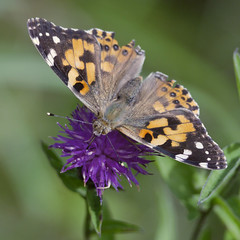 Painted Lady (Karls Kamera) Tags: vanessa cardui butterfly colour insect flower clintsquarry