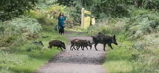 Wild Boar 2 3 4 5 6 7-7767
