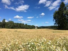 Maridalen (c3nes) Tags: cornfield daisies bluesky clouds trees house farm farmland oslo maridalen summer scatteredclouds sky field landscape