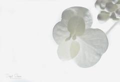 Pure (Inky-NL) Tags: highkey plant whitebackground flash pure delicate leaf macro fujixt2 fuji60mmf24 hmm nature garden fine macromondays