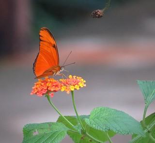 Orange squared - Flame butterfly (Dryas iulia) on Lantana flowers, Sarapiqui, Costa Rica, Dec 2016