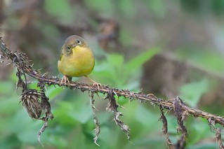 The Curious Yellow Throat