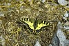 Butterfly in yellow and black (AleEstmodusinrebus?) Tags: vacation exposure alessandrophotographer farfalla butterfly giallo yellow natura holiday flying black nero insect ali eleganza elegance nature mountain montagna riposo macromondays