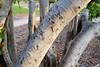 dsc01584 (space lama) Tags: moretonbayfig banyan tree roots graffiti