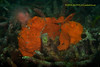 New couples (kayak_no1) Tags: nikon d800e nauticamhousing 105mmvr diopter ysd1 subsee10 underwater underwaterphotography macro supermacro diving scubadiving uw lembehstrait indonesia frogfish