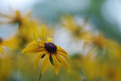 Rudbeckia (Patrice StG) Tags: québec fleur flower bokeh vintagelens jaune yellow gimp dusk crépuscule macro softness douceur doux soft pentax pentaxart pentaxm50mm14 ks2