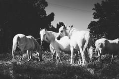 Petite Camargue (Meculda) Tags: monochrome animaux chevaux blanc camargue france sud nature nikon d7200 105mm sigma cheval horse white blackandwhite monochrom
